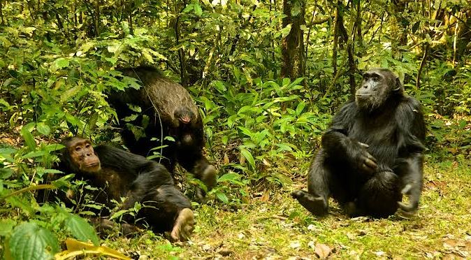 chimp trekking in nyungwe forest national park