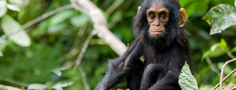3 Days Chimp Tracking in Kibale