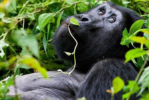 8 Days Rwanda Gorillas & Chimpanzee Safari