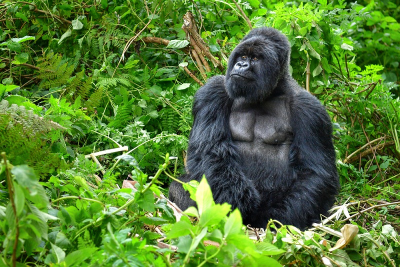2 Days Rwanda Golden Monkey Trekking Safari