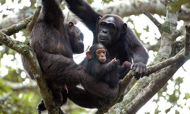 Nyungwe chimpanzees