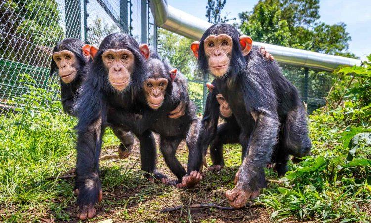 chimpanzee trekking in congo