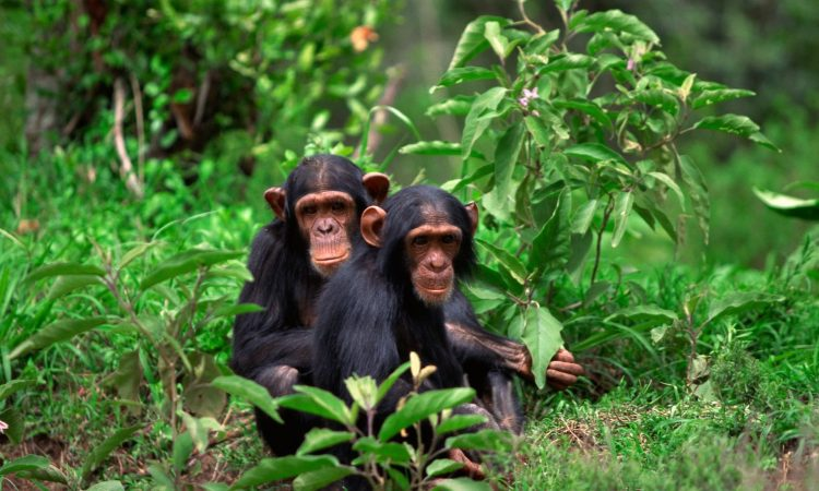 Chimpanzee Trekking in Rwanda