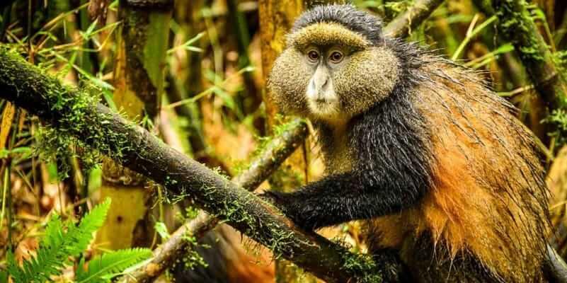 Travel Guide for Golden Monkey Trekking in Rwanda