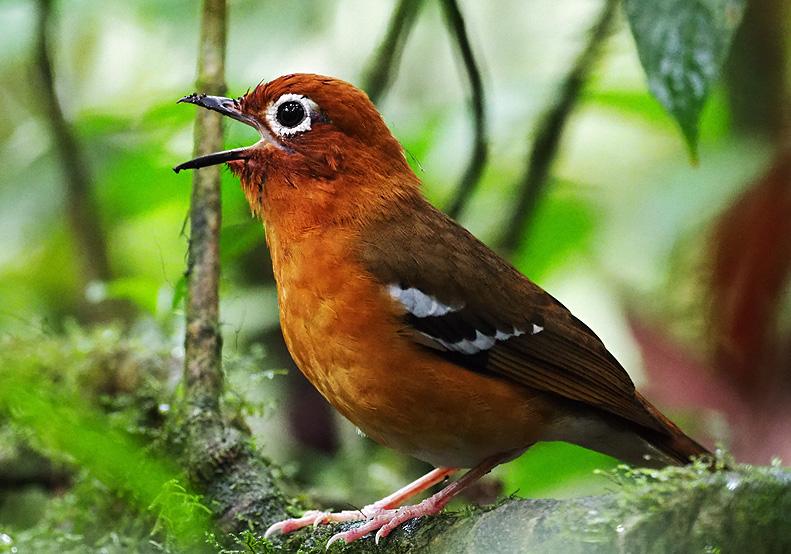 mgahinga birds