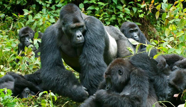 Reasons for Gorilla Trekking in Rwanda