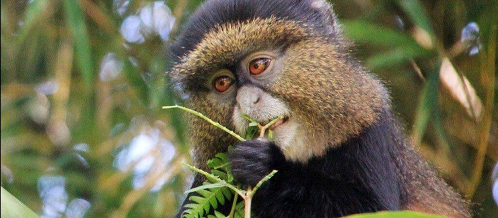 3 Days Rwanda Golden Monkey Trekking