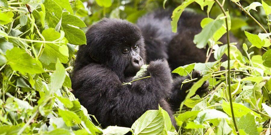 3 Day Gorilla Trekking Uganda from Kigali