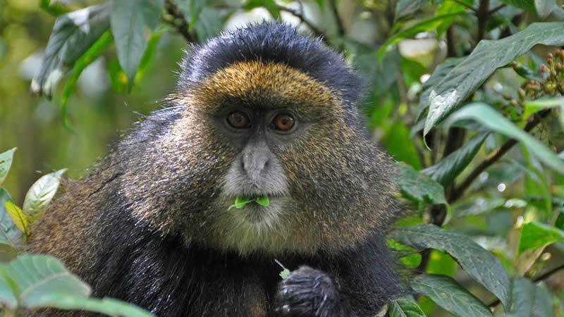5 Days Uganda Rwanda Primate Safari