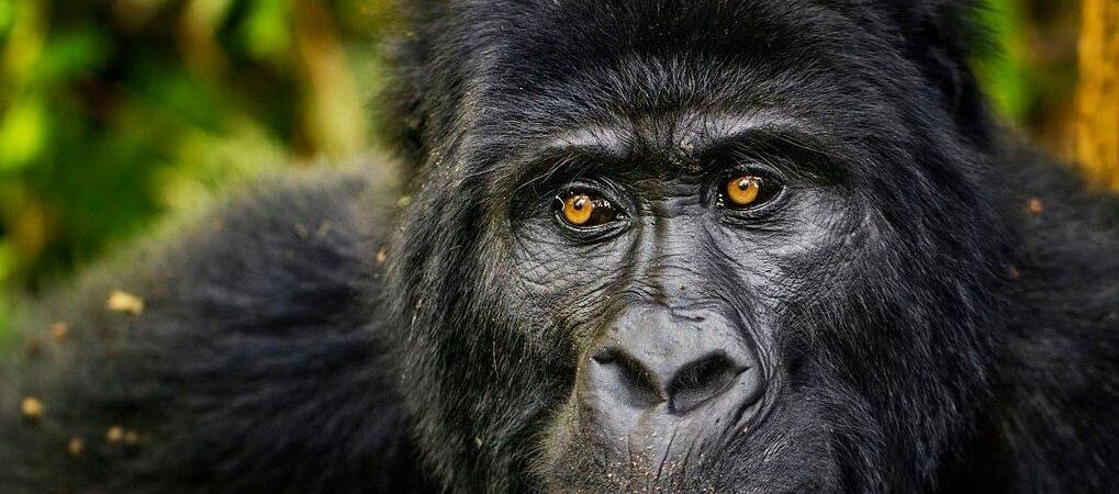2 Days Jomba Gorilla Trekking Safari