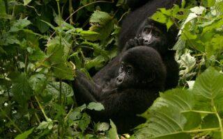 3 Days Bwindi Gorilla Trekking Safari from Kigali