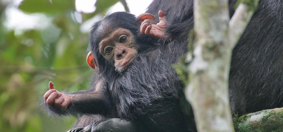 3 Days Rwanda Chimpanzee Trekking Safari