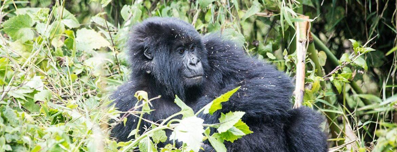 3 Days Uganda Gorilla Habituation from Kigali