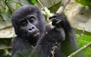 4 Days Uganda Double Gorilla Trekking Safari From Kigali
