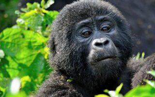 5 Days Rwanda and Congo Gorilla Safari