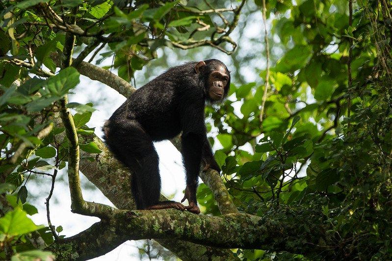 6 Days Great Ape with Nyiragongo Safari