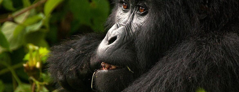 6 Days Virunga Gorilla Trekking & Mount Nyiragongo Hike