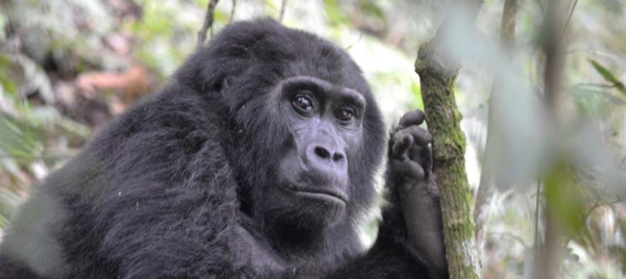 7 Days Uganda Gorilla Trekking & Wildlife Safari From Kigali