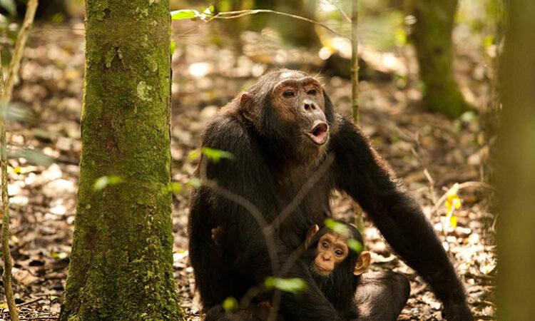 8 Days Rwanda Primates & Wildlife Safari