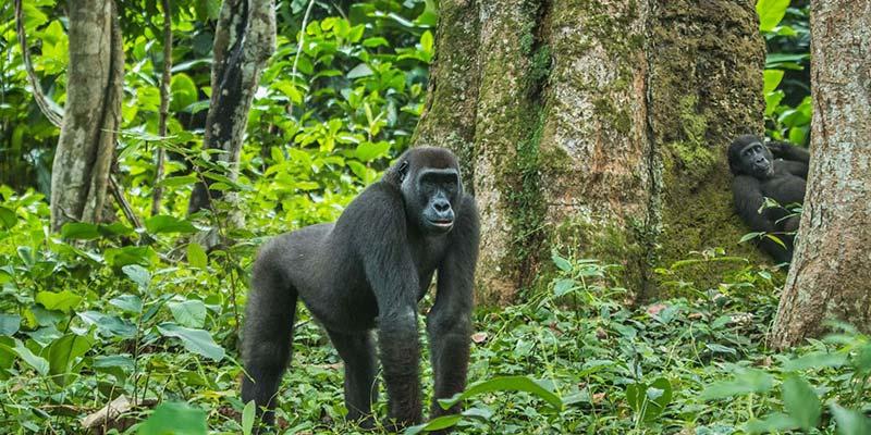 3 Days Congo Gorilla Trekking Safari (Kahuzi-Biega National Park)