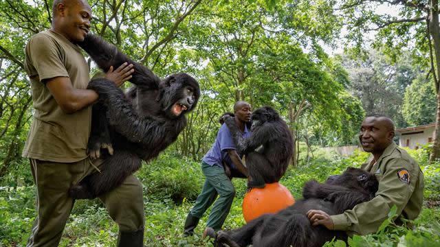 Senkwekwe gorilla orphanage