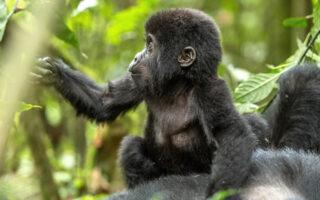 12 Days Uganda Rwanda Combined Safari