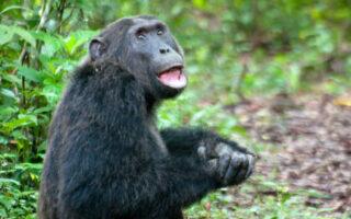 3 Days Uganda Chimpanzee Habituation