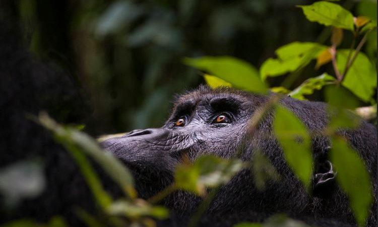 4 Days Le Petit Mikeno Safari