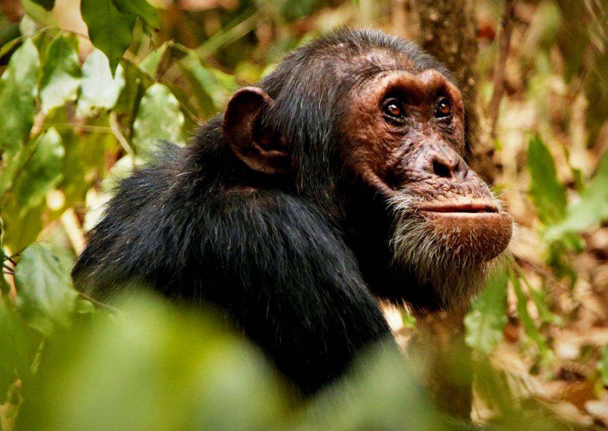 4 Days Murchison Wildlife & Chimpanzee Safari