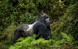 4 Days Uganda Gorilla Trekking From Kigali