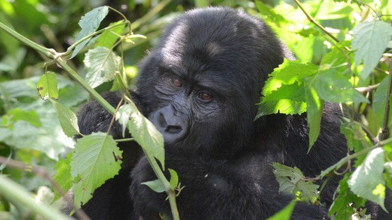 Double Gorilla Trekking Safari in Uganda