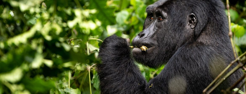 Gorilla Habituation in Uganda