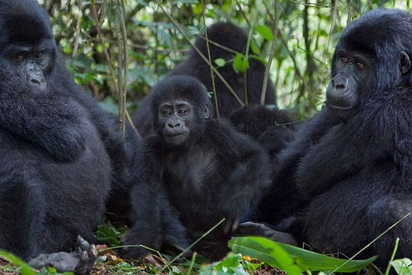 Gorilla Trekking in Bwindi vs Virunga National Park