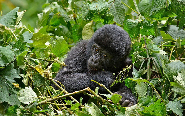 Gorilla Trekking in Bwindi vs Volcanoes National Park