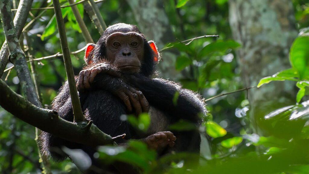 uganda chimpanzee trekking