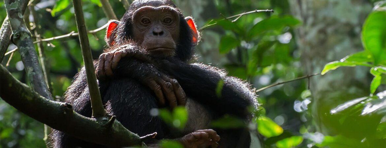 Travel Guide for Chimpanzee Trekking in Uganda