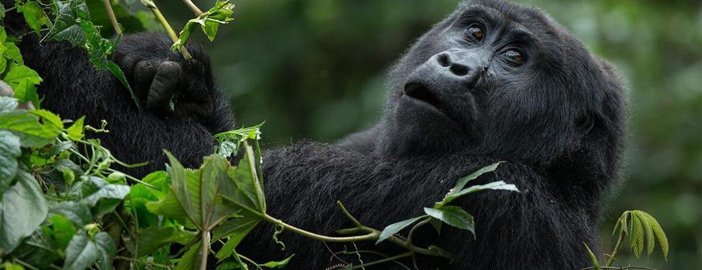 Travel Guide for Gorilla Trekking in Uganda
