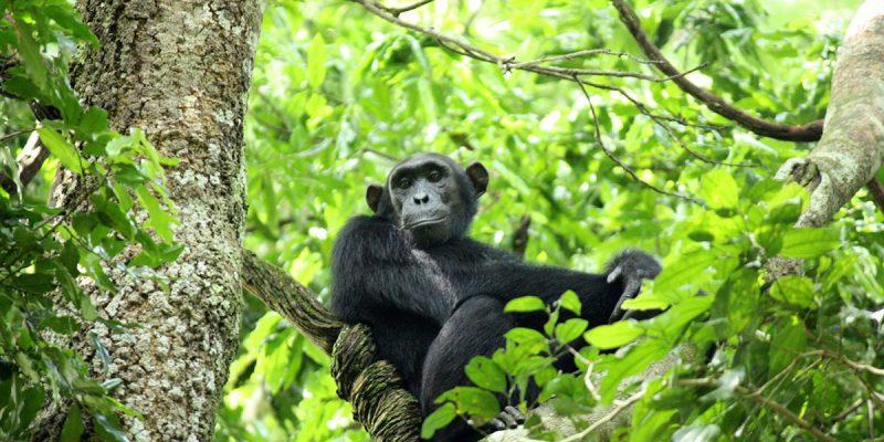 budongo chimp trekking