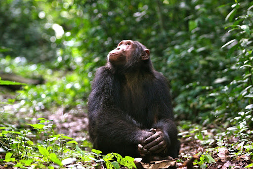 chimpanzee trekking in  queen elizabeth park
