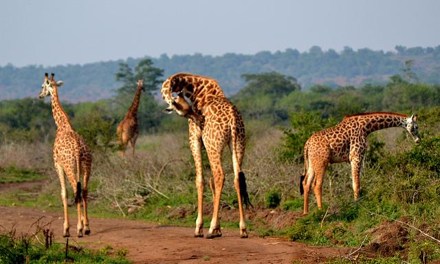 Wildlife of Akagera National Park
