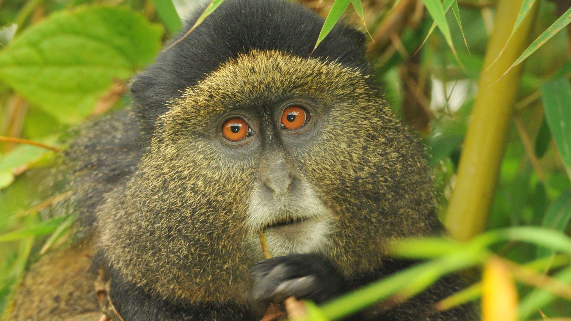 Golden Monkey Trekking in virunga