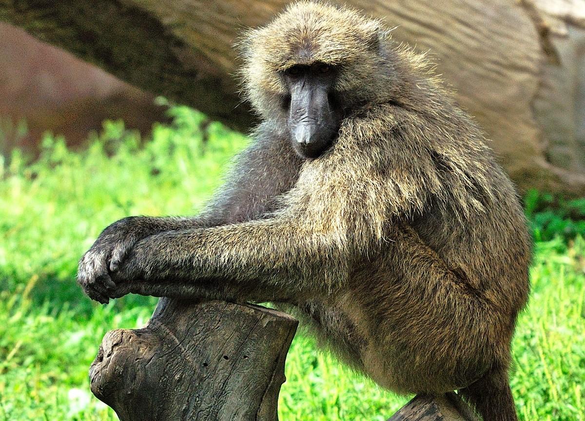 Primate Tracking in Uganda